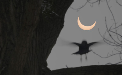 Bird alighting during solar eclipse