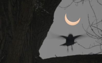 Bird alighting during solar eclipse