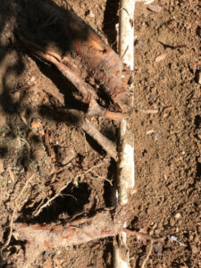 publishing books—broken pipe entangled in tree roots